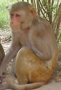 rhesus-monkey-gnu-lic.jpg