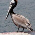 brown-pelican_gnu-dori.jpg