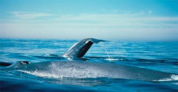 blue-whale-noaa.jpg