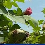 cotton-flowers-africa.jpg