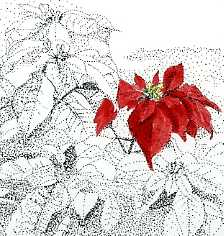 poinsettia-by-alex-cube.jpg
