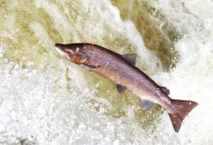 atlantic-salmon-alamy.jpg