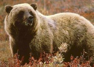 grizzly-usfws.jpg
