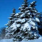 snow-laden-fir-trees