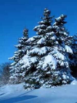 snow-laden-fir-trees