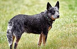 queensland-cattle-dog
