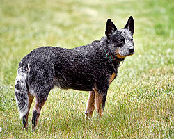 queensland-cattle-dog