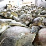 sea-turtle-rescue-pile-blair-witherington.jpg