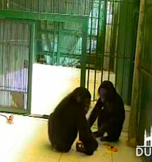 bonobos-dine-in-zoo.jpg