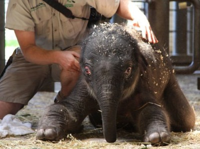 elephant-miracle-baby-taronga-zoo.jpg