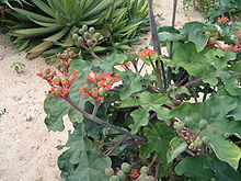 jatropha-for-oil-gnu.jpg