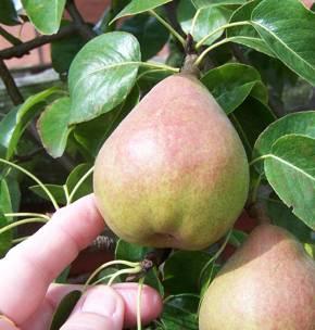 pear-picking.jpg