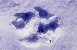 wolf-print-in-snow-nrdc.jpg