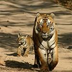 bengal-tiger-w-cub_pilibhit_reserve-mayankkatiyar.jpg