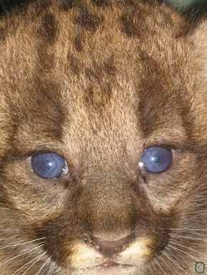 panther-fla-cub_fwc.jpg