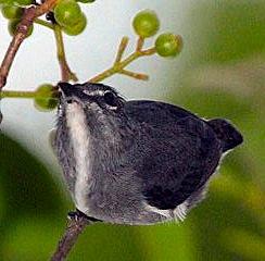 spectacled-flowerpoker-bird.jpg