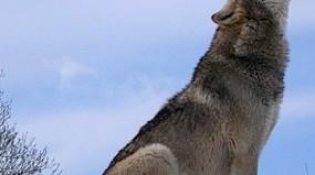 grey wolf howls