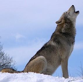wolf-howling-grey.jpg