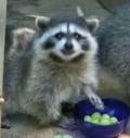 orphan raccoon ABC News video