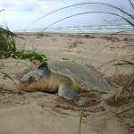 sea-turtle-kemps-ridley-natlparkservice.jpg