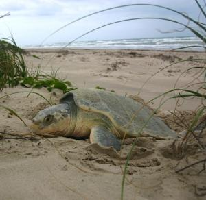 sea-turtle-kemps-ridley-natlparkservice.jpg