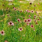 Tennessee purple coneflowers - FWS photo