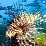 lionfish-NOAA