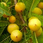 Amalaki fruit growing in foothills of the Himalayan Mountains