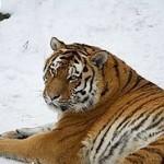 Siberian tigers (Amur tiger), CC license
