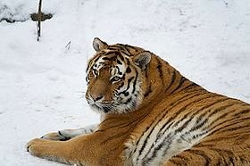Siberian tigers (Amur tiger), CC license