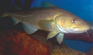 Atlantic Cod, photo by NOAA