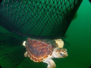 Kemp's ridley turtle, by NOAA - LH ted