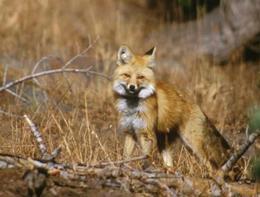 Sierra Nevada red fox - US forest-service