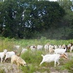 TREES ATLANTA photo of goats ready to eat kudzu