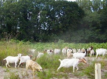 TREES ATLANTA photo of goats ready to eat kudzu