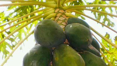 Mango tree - News21.com photo