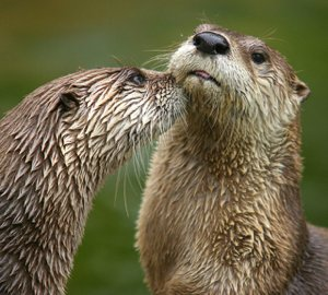 otters photo by Dmitry Azovtsev CC license