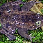 Oregon spotted frog photo, Dept. of Fish and Wildlife