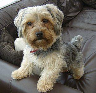 Yorkshire Terrier Jordan-Wilson-CC