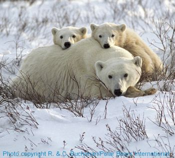 Photo credit: R. and C. Buchanan (c) Polar Bear International