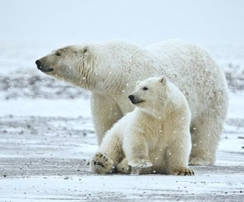 polar bear with cubs, naturespicsonline.com by Alan-Wilson-CC