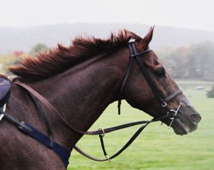 Thoroughbred, Photo credit: Jade (via morguefile)
