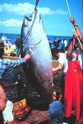 bluefin tuna catch, NOAA photo