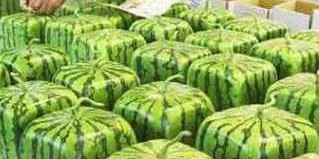 square japanese watermelons