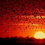 Blackbird-flock-at-sunset-pubdomain