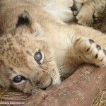 lion cub, ADI photo