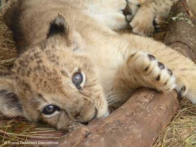 ADI photo of rescued lion cub