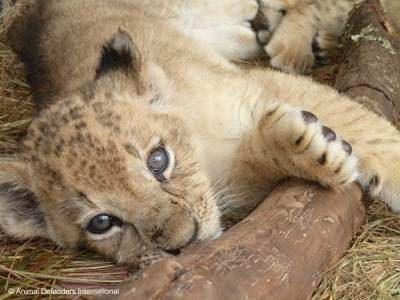 ADI photo of rescued lion cub