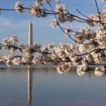 Washington Monument cherry blossoms - 2011