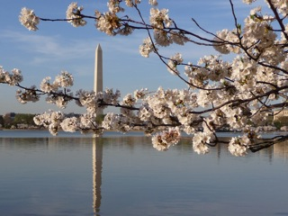 Washington Monument with cherry blossoms-geri